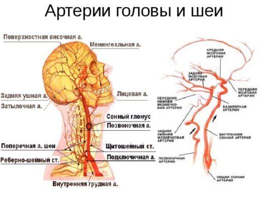 артерии головы и шеии