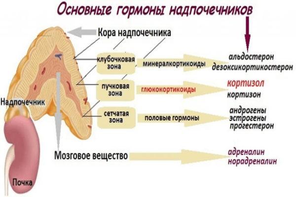 основные гормоны надпочечников