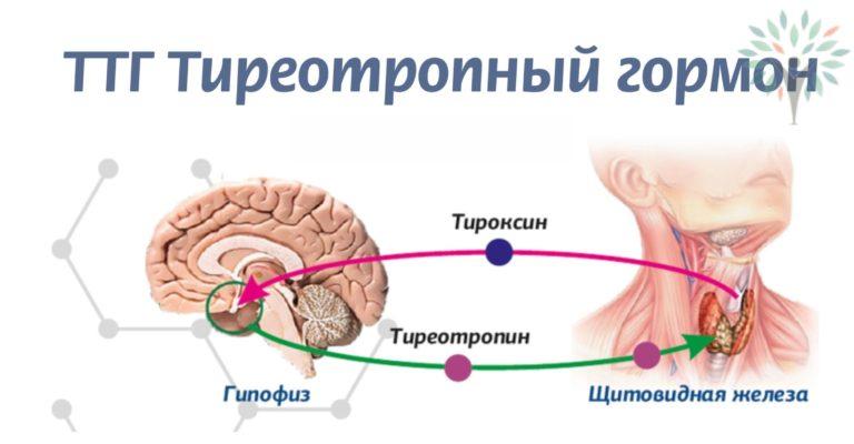тиреотропный гормон ттг