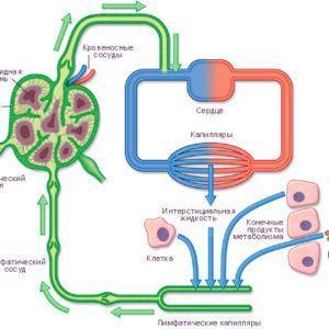 лимфатическая система строение
